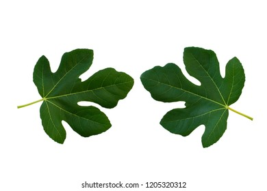 Closeup of fig isolated on white background use for your design or nature concept. Leaf is the main organs of photosynthesis and transpiration.