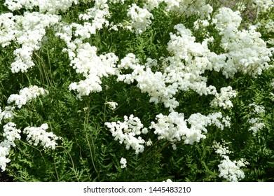 Closeup filipendula ulmaria - very ornamentalplant with blurred background in damp meadow