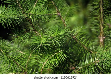 Close-up of fir (abies) evergreen coniferous tree in the family pinaceae. Macro photography of nature.