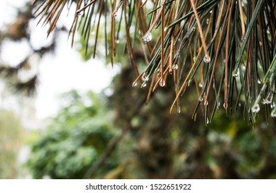 Closeup of fir needles with water drops. Light blurry bokeh effect in the background. Rainy weather and autumn trees with low depth of field.