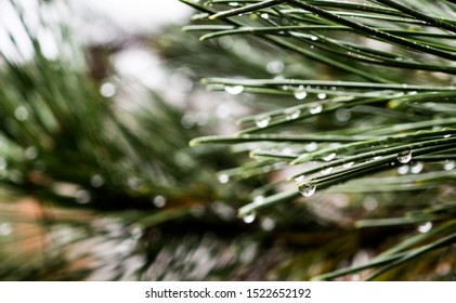 Closeup of fir needles with water drops. Focus on one particular water drop with light blurry bokeh effect in the background. Rainy weather and autumn trees with low depth of field.