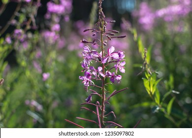 Closeup of fireweed flower (Chamaenerion angustifolium), also known as great willowherb and rosebay willowherb. Racemes of purple to pink flowers of fireweed wild flower.