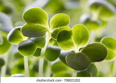 Closeup of five days old broccoli sprouts