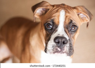 A close-up of a flashy fawn Boxer puppy looking right at you.