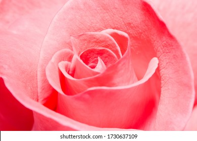 Closeup of a flawless pink rose