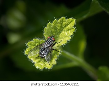 Closeup of a flesh fly with red eyes sitting on a small green leaf