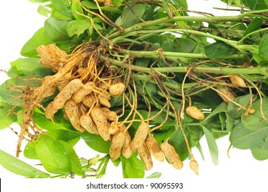 Closeup Of Fleshly Harvested Groundnuts