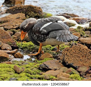 close-up of the flight-less Falkland Steamer Duck, known locally as the Logger Duck, Stanley, Falkland Islands, British Overseas Territory, South Atlantic