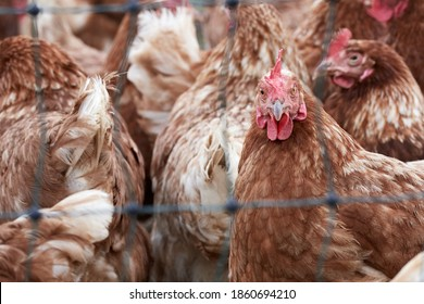 Close-up of a flock of free range hens on an organic poultry farm behind a chicken wire.