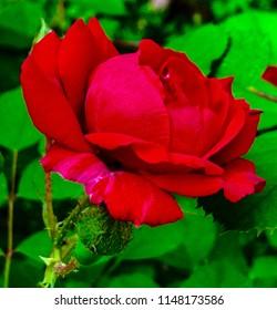 Closeup of Floribunda Rosa