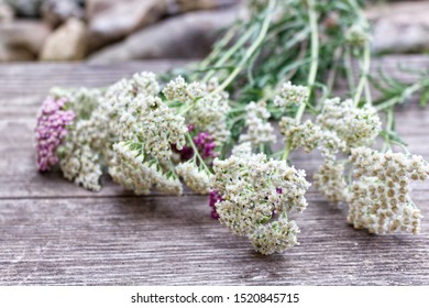 Closeup of flower achillea millefolium, commonly known as yarrow or common yarrow on rustic weathered wooden boards. Medicinal plant.Empty space for your text.