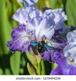 "Closeup of flower bearded iris ""Splashacata"" with Carpenter Bee (Xylocopa latipes) in garden."