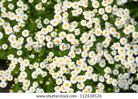 Closeup Flower Bed White Flowers Stock Photo Edit Now 112438526