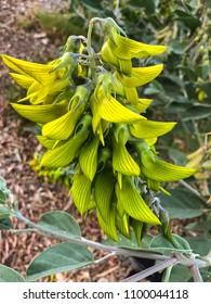 Closeup flower of Green regal birdflower growing in Perth, Western Australia (Crotalaria cunninghamii)