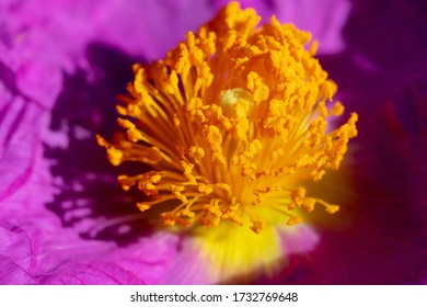 The close-up of flower of hoary rock-rose (Cistis incanus) - Shutterstock ID 1732769648
