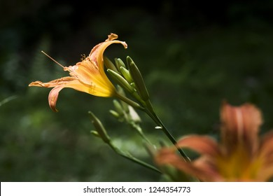 A closeup of a flower of an orange day-lily in summertime.