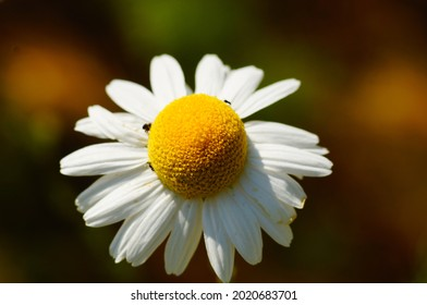 Close-up of the Flower of a scentless false mayweed  A powerful pioneer plant on fallow land  Native to Eurasia, invasive in North America