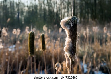 Closeup of flower spikes of broadleaf cattail or Typha latifolia in low afternoon sunlight. The picture is taken in a Dutch nature reserve in the winter season.