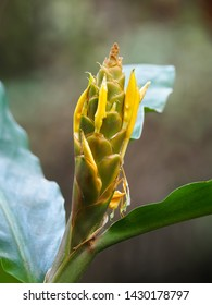 Closeup flower of Yellow ginger, known as Cream garland-lily growing in Nepal, Asia (Hedychium flavescens)