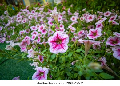 Closeup Flowerbed with multicoloured petunias, Image full of colourful petunia (Petunia hybrida) flowers in the garden