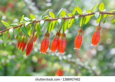 Close-up of flowering Agapetes serpens Flowers in Spring. View of hanging orange-colored flowers on Branches or Twigs with green Leaves. Himalayan Lantern Flower.