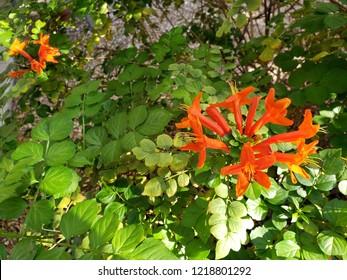 Closeup of flowering Arizona honeysuckle shrub in early Autumn morning