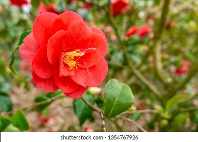 Close-up of a flowering Camellia japonica in March. View of a beautiful blooming Camellia japonica. Red Camellia japonica Flower.
