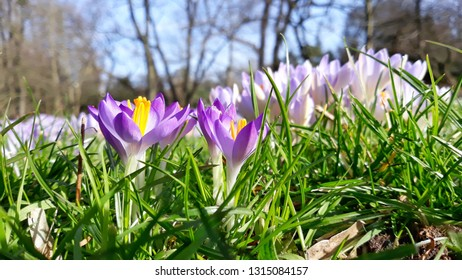 Close-up of flowering Crocus Flowers on a Meadow in Spring. View of Blooming Crocuses on a sunny day.
