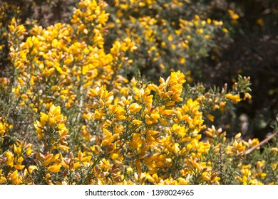 Closeup of flowering gorse bush with yellow flowers.