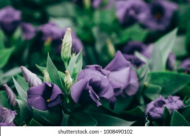 Close-Up of flowering Lisianthus or Eustoma plants in garden