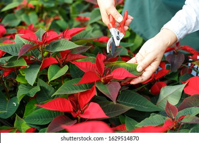 Closeup of flowering Poinsettias pulcherrima with hands of gardener caring for plants