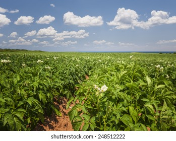Closeup of flowering potato plants growing in large farm field at Prince Edward Island, Canada