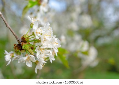 Close-up of a flowering Prunus avium Tree with white little Blossoms. View of a blooming Sweet Cherry Tree in Spring.