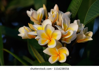 Close-up of flowering tree of Plumeria rubra (frangipani) decorating a summer garden. Macro photography of nature.