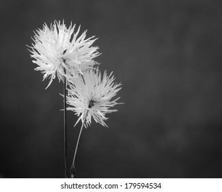 Closeup flowers. Black and white photos