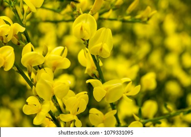 a close-up of the flowers of a broom shrub