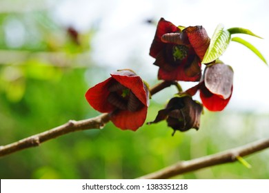 Close-up flowers of the common paw paw tree (asimina triloba)