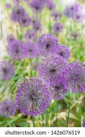 Closeup of the Flowers of the Giant Decorative Onion (Allium Giganteum). Many balls of blooming flowers Allium in the garden. Spring, the beginning of summer in the blooming garden.
