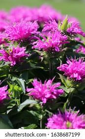 Closeup of the flowers of Grand Parade beebalm (Monarda didyma 'ACrade')