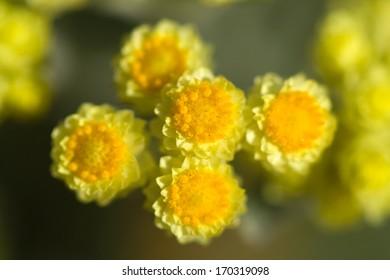 close-up flowers of Helichrysum arenarium