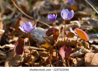 A close-up of the flowers (Jeffersonia dubia) of early spring with drops of dew on petals.