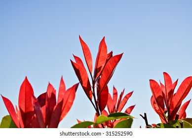 Closeup of flowers with red leaves and clear sky in the background