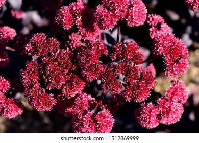 A closeup of the flowers of Sedum Jose Aubergine.