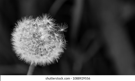 Close-up of fluffy overblown dandelion head. Taraxacum officinale. Beautiful black and white blowball with fragile seeds. Dark sad background with copy space. Selective focus.