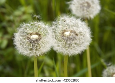 Closeup of fluffy white dandelion in grass with field flowers