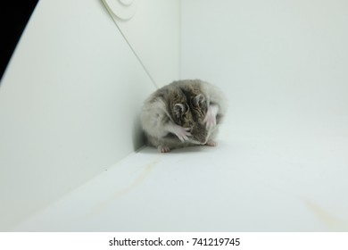 Close-up of a fluffy winter white hamster cleaning itself in white background