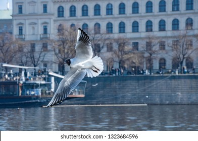 Closeup of flying seagull above the river Vltava in Prague. Flying bird, closeup view