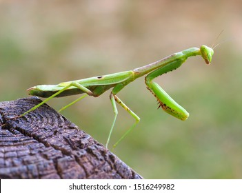 Closeup Focus Stacked Image of an Adult Carolina Mantid or Praying Mantis