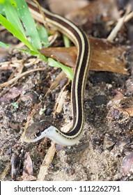 Closeup Focus Stacked Image of a Ribbon Snake Crawling Toward You