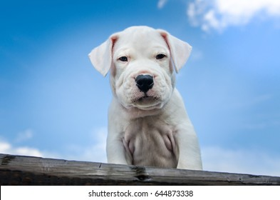 closeup of focused white puppy argentino dogo dog sitting on wooden bench and looking down with few clouds on blue sky